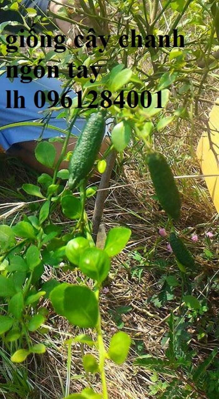 Cung cấp cây giống chanh ngón tay, chanh ngón tay - finger lime, cây giống nhập khẩu chất lượng cao0