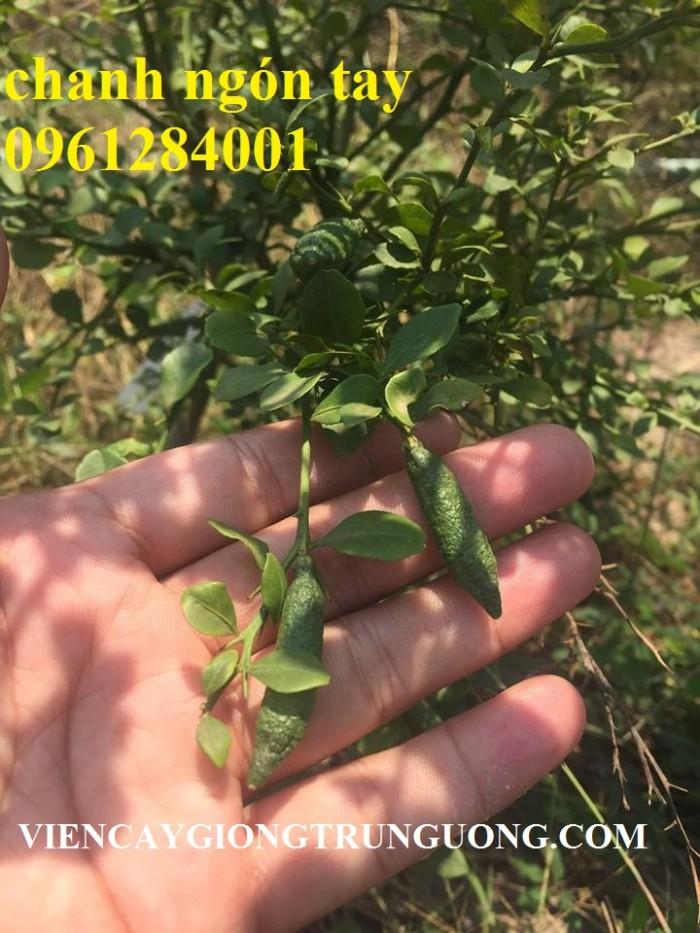 Cung cấp cây giống chanh ngón tay, chanh ngón tay - finger lime, cây giống nhập khẩu chất lượng cao4