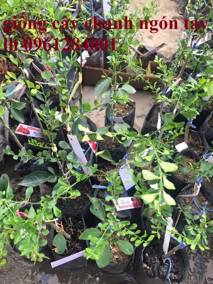 Cung cấp cây giống chanh ngón tay, chanh ngón tay - finger lime, cây giống nhập khẩu chất lượng cao5