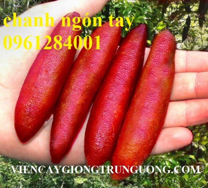 Cung cấp cây giống chanh ngón tay, chanh ngón tay - finger lime, cây giống nhập khẩu chất lượng cao9