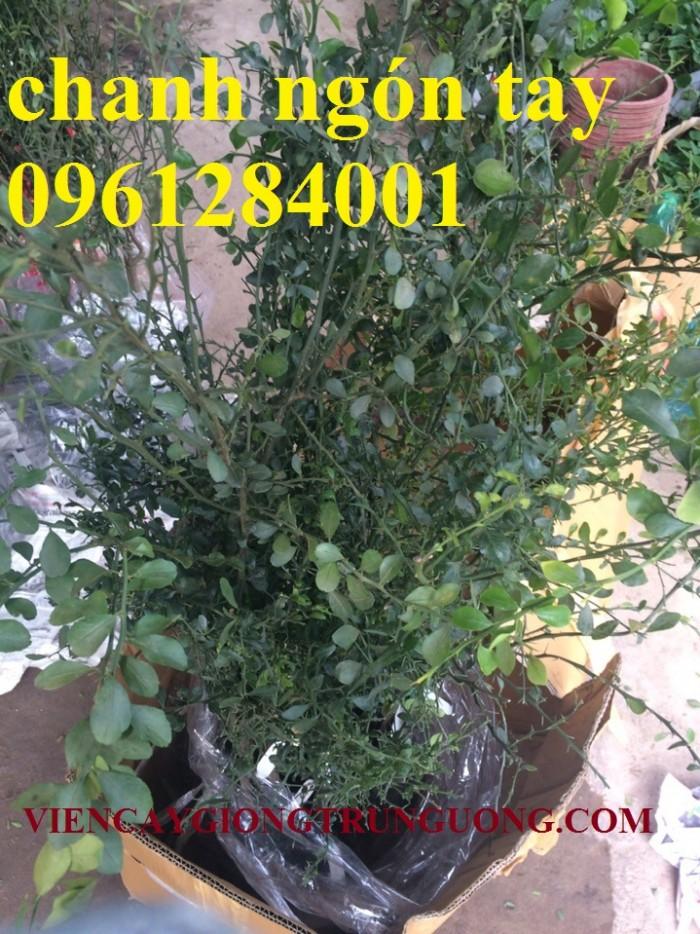 Cung cấp cây giống chanh ngón tay, chanh ngón tay - finger lime, cây giống nhập khẩu chất lượng cao3