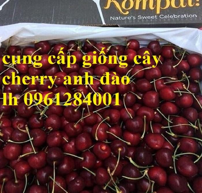 Cây giống cherry, cherry anh đào, cherry brazil, cây giống nhập khẩu uy tín, chất lượng15