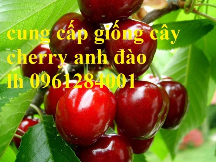 Cây giống cherry, cherry anh đào, cherry brazil, cây giống nhập khẩu uy tín, chất lượng16