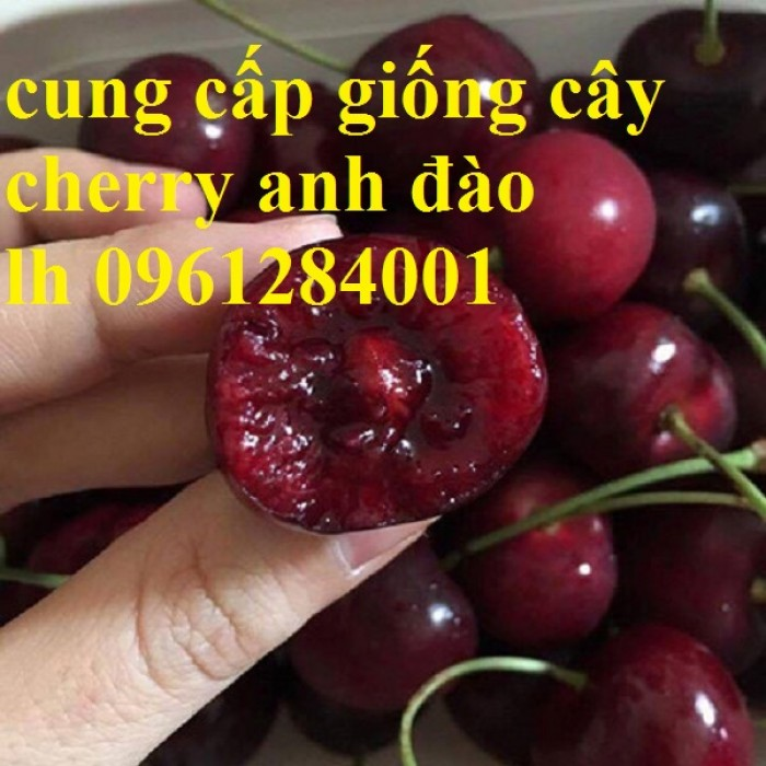Cây giống cherry, cherry anh đào, cherry brazil, cây giống nhập khẩu uy tín, chất lượng13