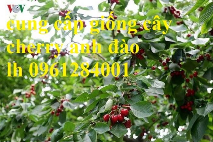 Cây giống cherry, cherry anh đào, cherry brazil, cây giống nhập khẩu uy tín, chất lượng17