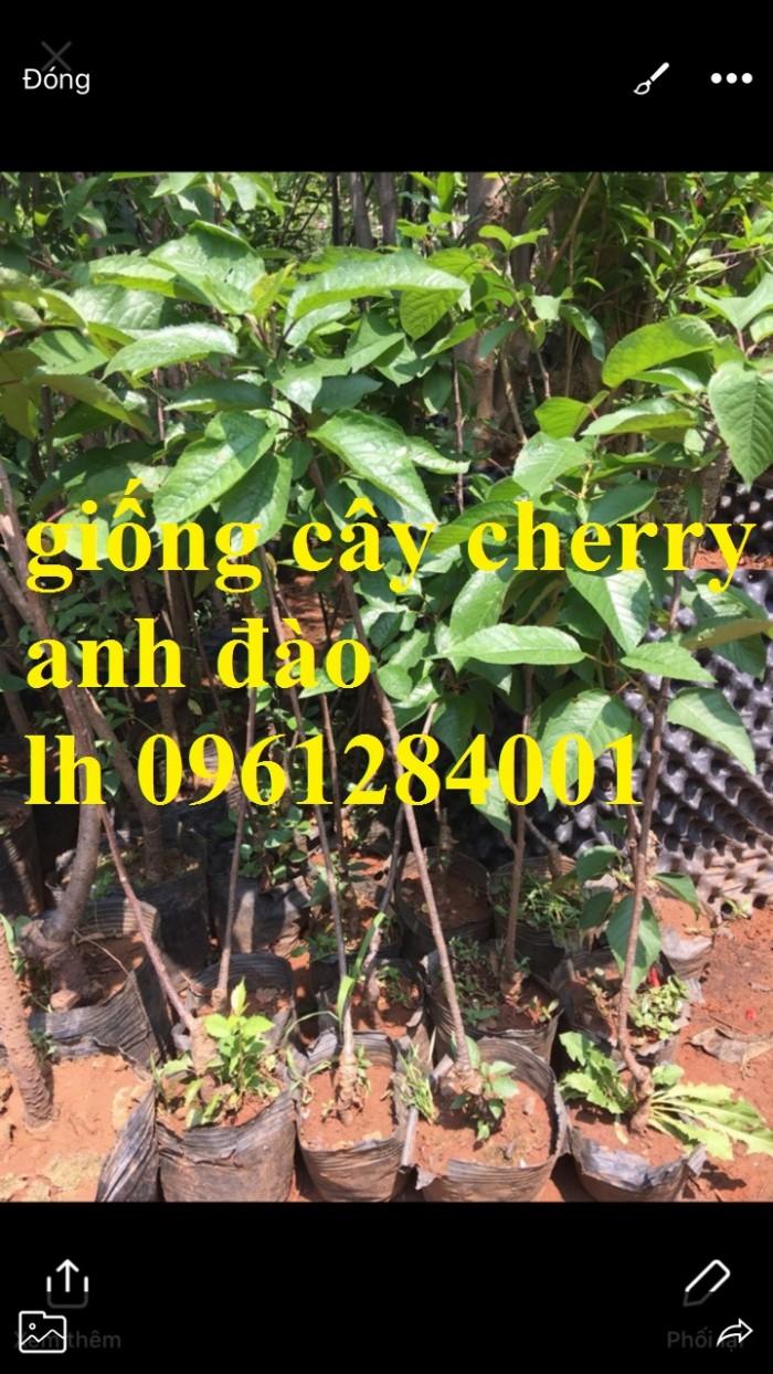 Cây giống cherry, cherry anh đào, cherry brazil, cây giống nhập khẩu uy tín, chất lượng12