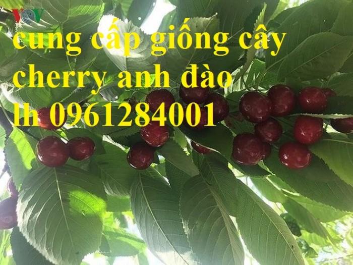 Cây giống cherry, cherry anh đào, cherry brazil, cây giống nhập khẩu uy tín, chất lượng14