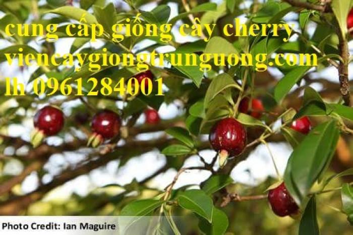 Cây giống cherry, cherry anh đào, cherry brazil, cây giống nhập khẩu uy tín, chất lượng11