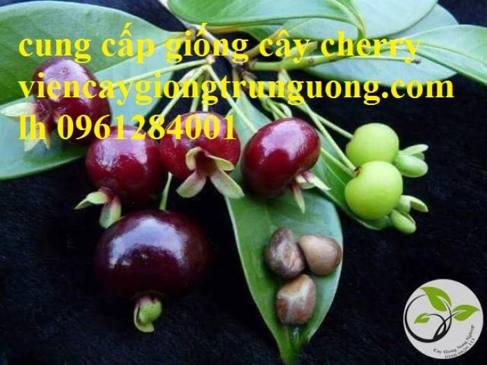 Cây giống cherry, cherry anh đào, cherry brazil, cây giống nhập khẩu uy tín, chất lượng10