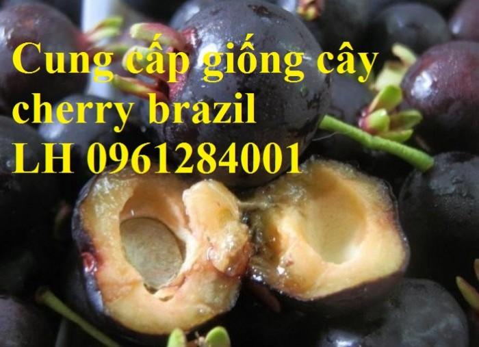 Cây giống cherry, cherry anh đào, cherry brazil, cây giống nhập khẩu uy tín, chất lượng9