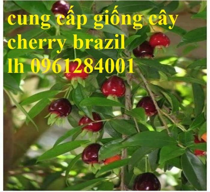 Cây giống cherry, cherry anh đào, cherry brazil, cây giống nhập khẩu uy tín, chất lượng6