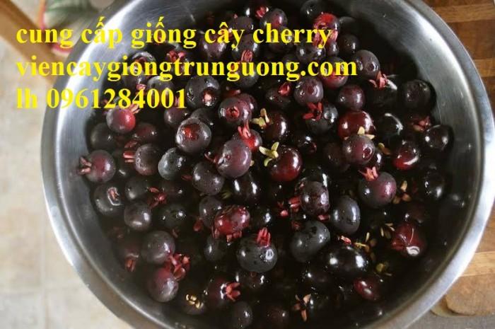 Cây giống cherry, cherry anh đào, cherry brazil, cây giống nhập khẩu uy tín, chất lượng8