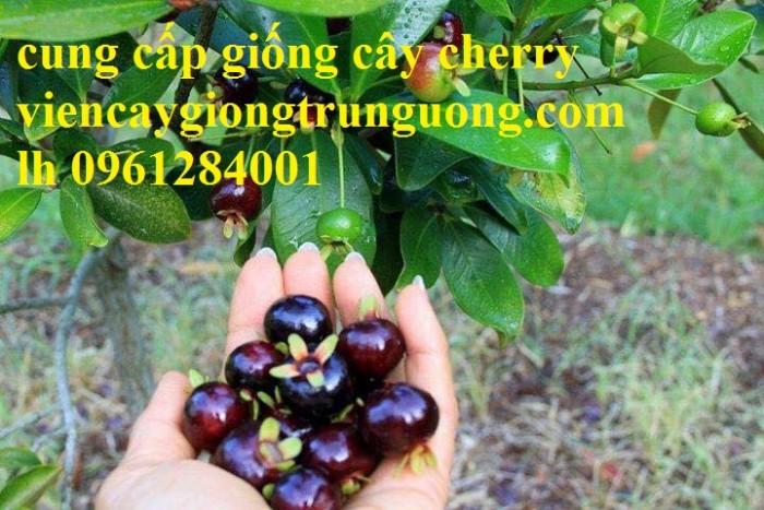 Cây giống cherry, cherry anh đào, cherry brazil, cây giống nhập khẩu uy tín, chất lượng7