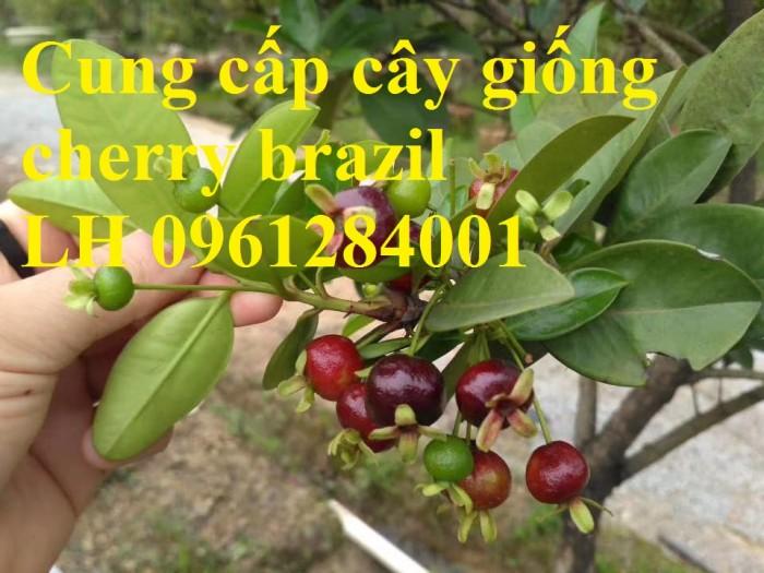 Cây giống cherry, cherry anh đào, cherry brazil, cây giống nhập khẩu uy tín, chất lượng5