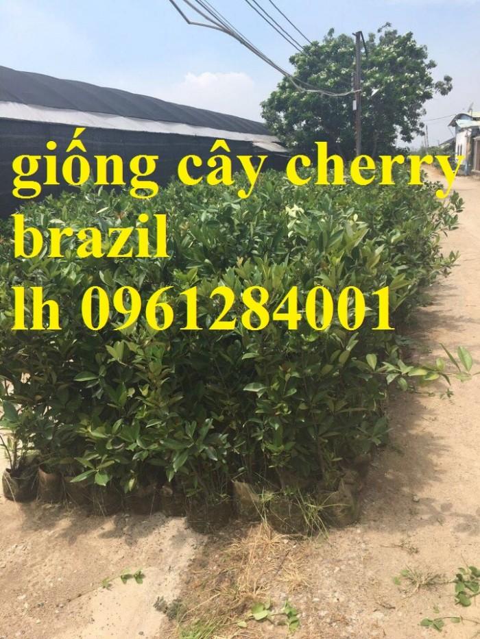 Cây giống cherry, cherry anh đào, cherry brazil, cây giống nhập khẩu uy tín, chất lượng1