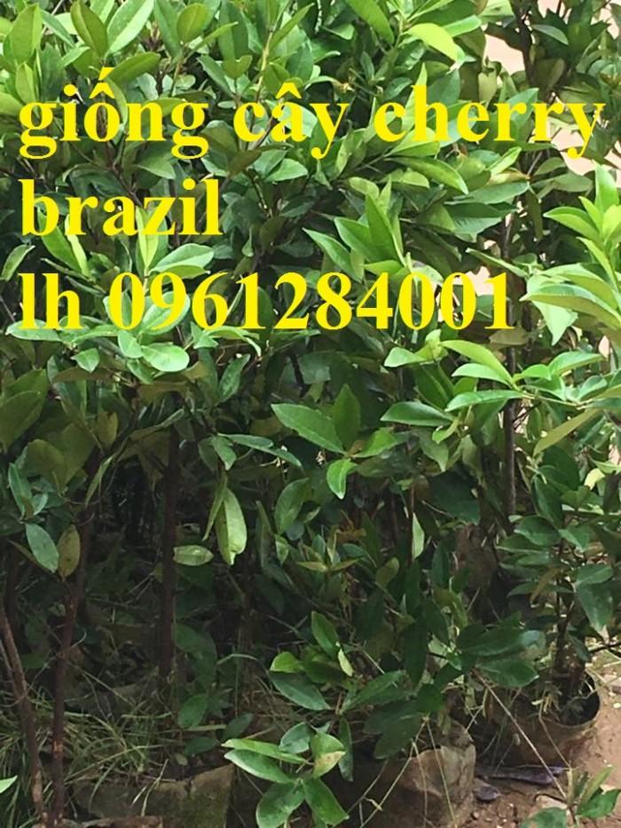 Cây giống cherry, cherry anh đào, cherry brazil, cây giống nhập khẩu uy tín, chất lượng4