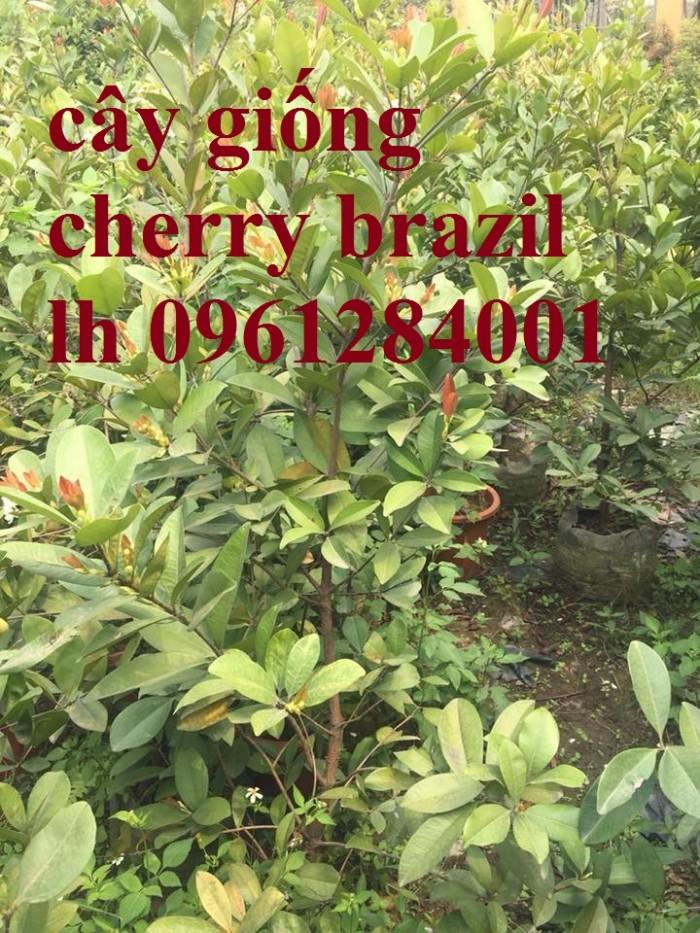 Cây giống cherry, cherry anh đào, cherry brazil, cây giống nhập khẩu uy tín, chất lượng0