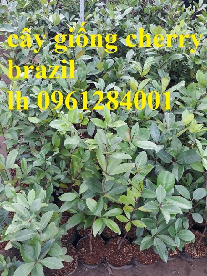 Cây giống cherry, cherry anh đào, cherry brazil, cây giống nhập khẩu uy tín, chất lượng2