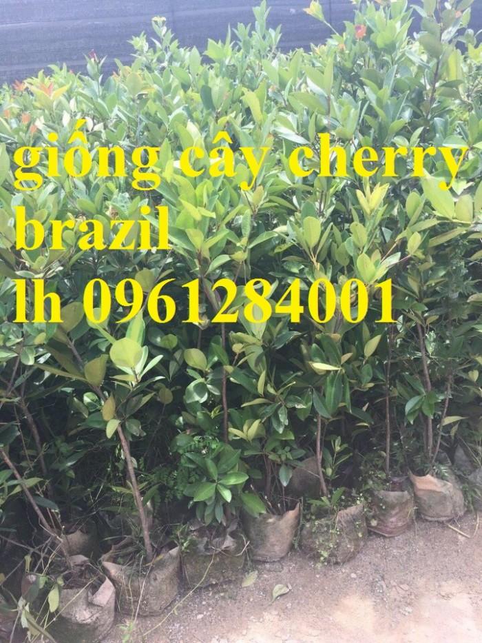 Cây giống cherry, cherry anh đào, cherry brazil, cây giống nhập khẩu uy tín, chất lượng3