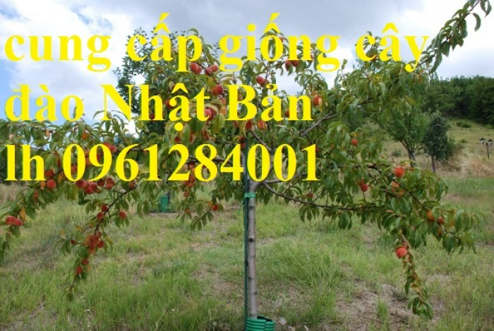 Địa chỉ uy tín cung cấp giống cây đào tiên chịu nhiệt Nhật Bản, đào ăn quả, đào tiên8