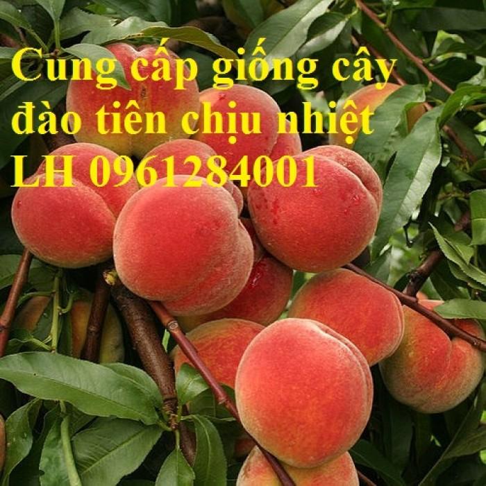 Địa chỉ uy tín cung cấp giống cây đào tiên chịu nhiệt Nhật Bản, đào ăn quả, đào tiên6