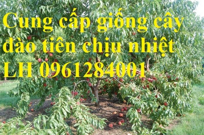 Địa chỉ uy tín cung cấp giống cây đào tiên chịu nhiệt Nhật Bản, đào ăn quả, đào tiên11