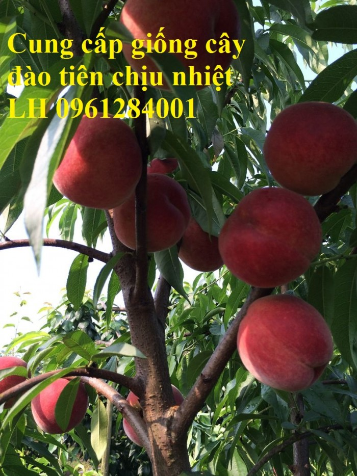 Địa chỉ uy tín cung cấp giống cây đào tiên chịu nhiệt Nhật Bản, đào ăn quả, đào tiên1