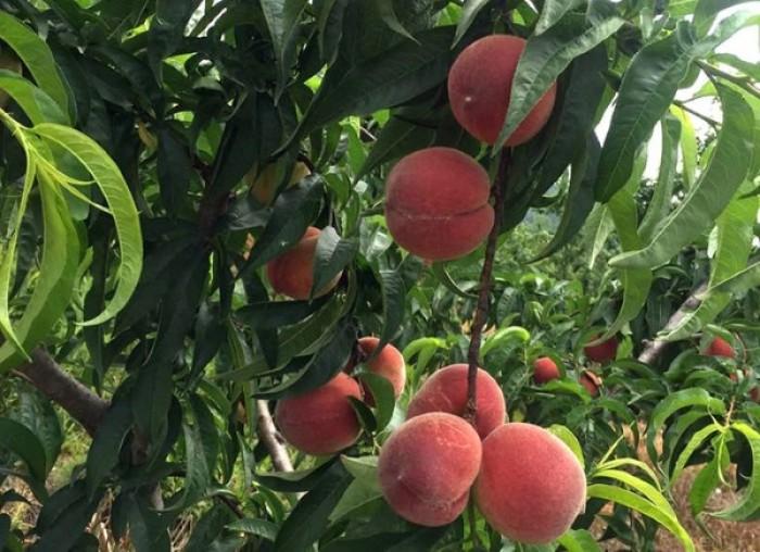 Địa chỉ uy tín cung cấp giống cây đào tiên chịu nhiệt Nhật Bản, đào ăn quả, đào tiên4