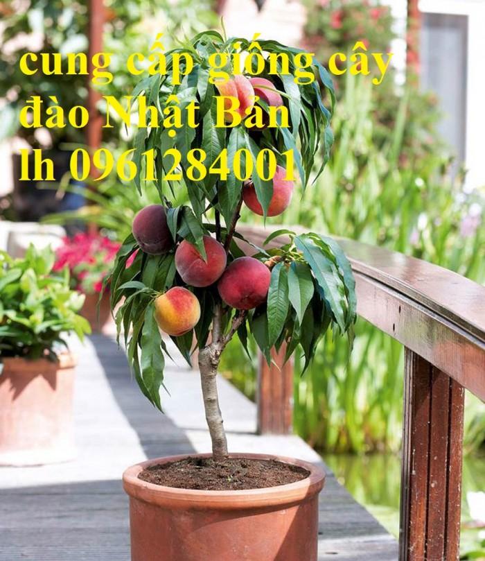 Địa chỉ uy tín cung cấp giống cây đào tiên chịu nhiệt Nhật Bản, đào ăn quả, đào tiên2
