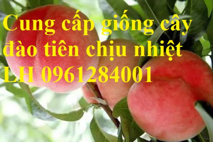 Địa chỉ uy tín cung cấp giống cây đào tiên chịu nhiệt Nhật Bản, đào ăn quả, đào tiên12