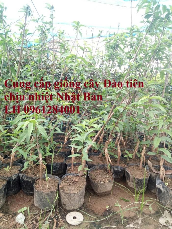 Địa chỉ uy tín cung cấp giống cây đào tiên chịu nhiệt Nhật Bản, đào ăn quả, đào tiên0