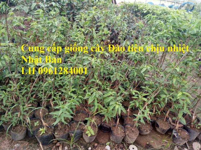 Địa chỉ uy tín cung cấp giống cây đào tiên chịu nhiệt Nhật Bản, đào ăn quả, đào tiên5