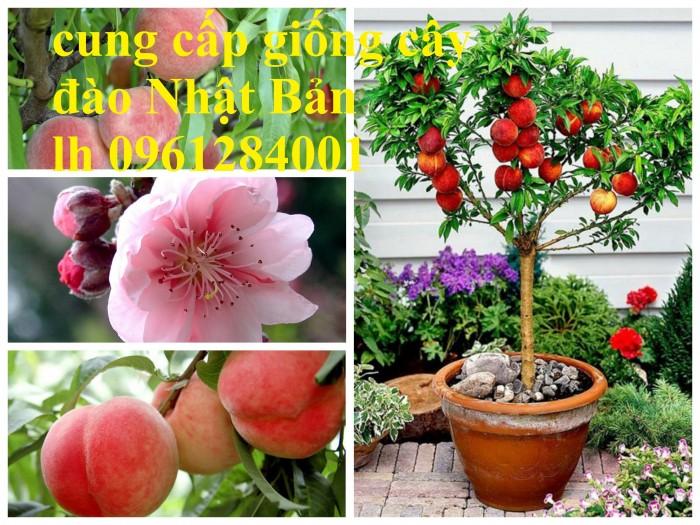 Địa chỉ uy tín cung cấp giống cây đào tiên chịu nhiệt Nhật Bản, đào ăn quả, đào tiên3