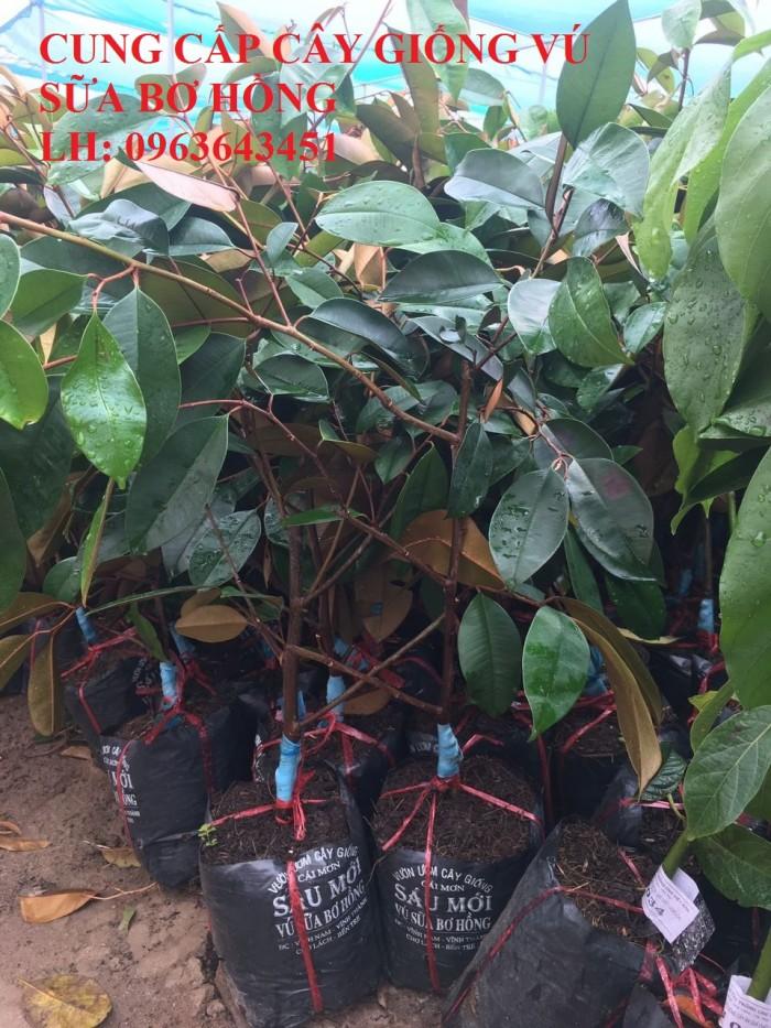 Cung cấp cây giống vú sữa bơ hồng, vú sữa trắng, vú sữa tím, vú sữa lò rèn, bảo hành chuẩn giống1