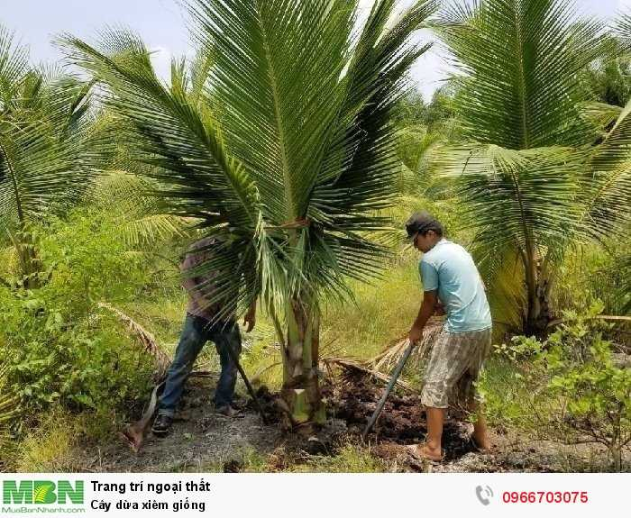 Cây dừa xiêm giống