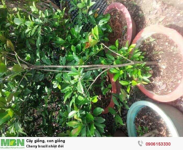 Cherry brazil nhiệt đới0
