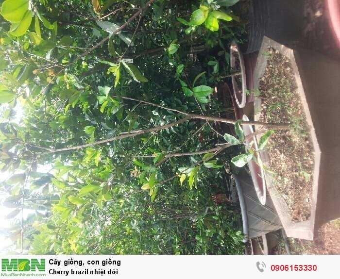 Cherry brazil nhiệt đới1