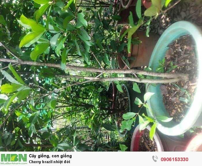 Cherry brazil nhiệt đới2