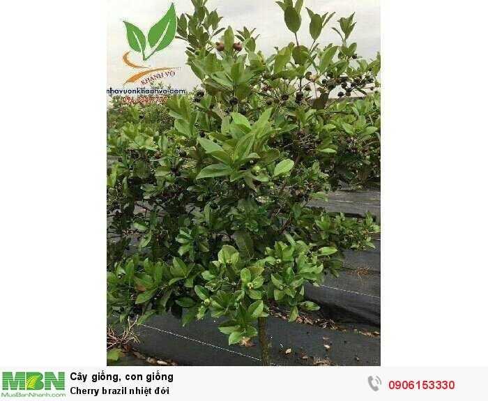 Cherry brazil nhiệt đới3