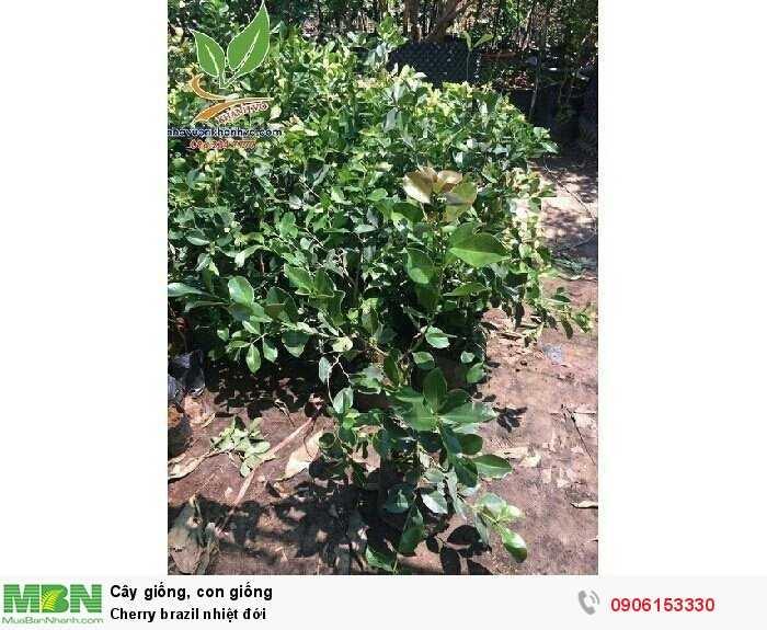 Cherry brazil nhiệt đới4