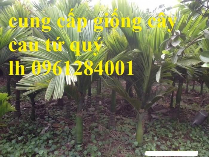 Chuyên cung cấp giống cây cau tứ quý, cau tứ thời, số lượng lớn, giao hàng toàn quốc13