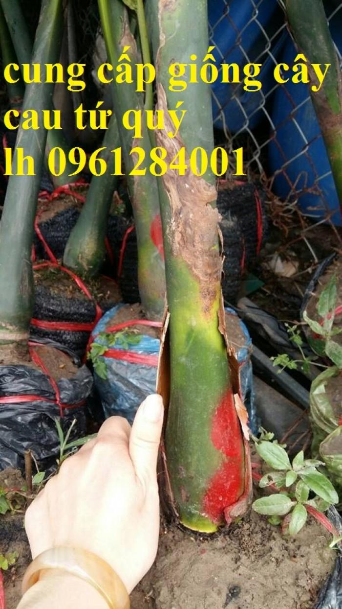 Chuyên cung cấp giống cây cau tứ quý, cau tứ thời, số lượng lớn, giao hàng toàn quốc3
