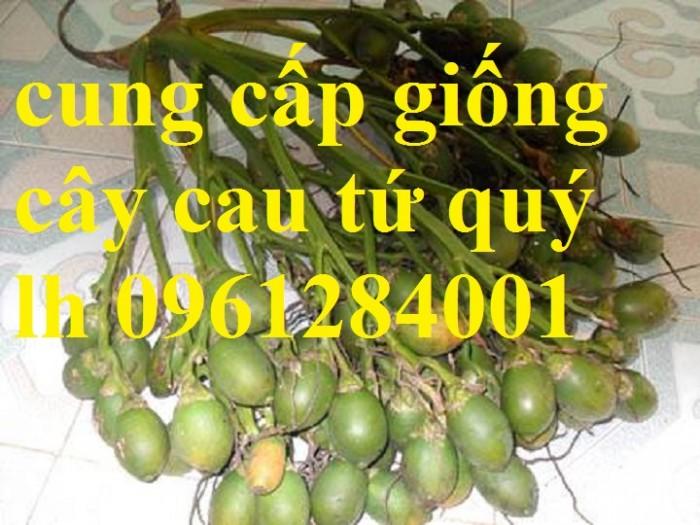 Chuyên cung cấp giống cây cau tứ quý, cau tứ thời, số lượng lớn, giao hàng toàn quốc11