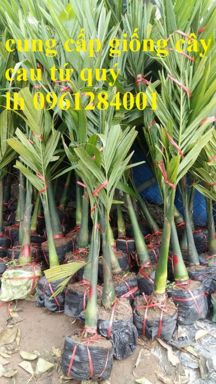 Chuyên cung cấp giống cây cau tứ quý, cau tứ thời, số lượng lớn, giao hàng toàn quốc4
