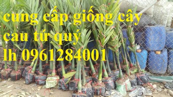 Chuyên cung cấp giống cây cau tứ quý, cau tứ thời, số lượng lớn, giao hàng toàn quốc12