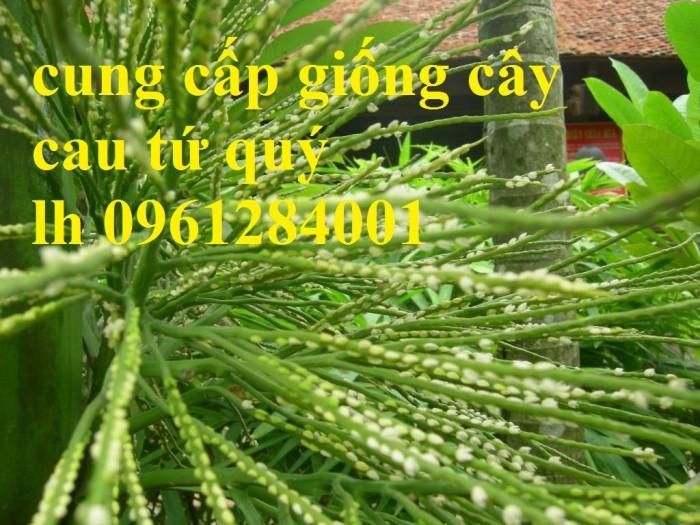 Chuyên cung cấp giống cây cau tứ quý, cau tứ thời, số lượng lớn, giao hàng toàn quốc9
