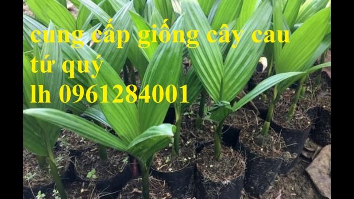 Chuyên cung cấp giống cây cau tứ quý, cau tứ thời, số lượng lớn, giao hàng toàn quốc10