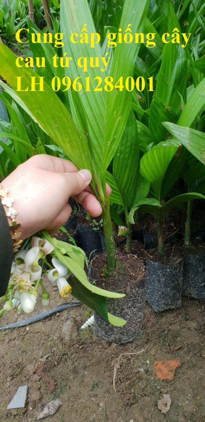 Chuyên cung cấp giống cây cau tứ quý, cau tứ thời, số lượng lớn, giao hàng toàn quốc1