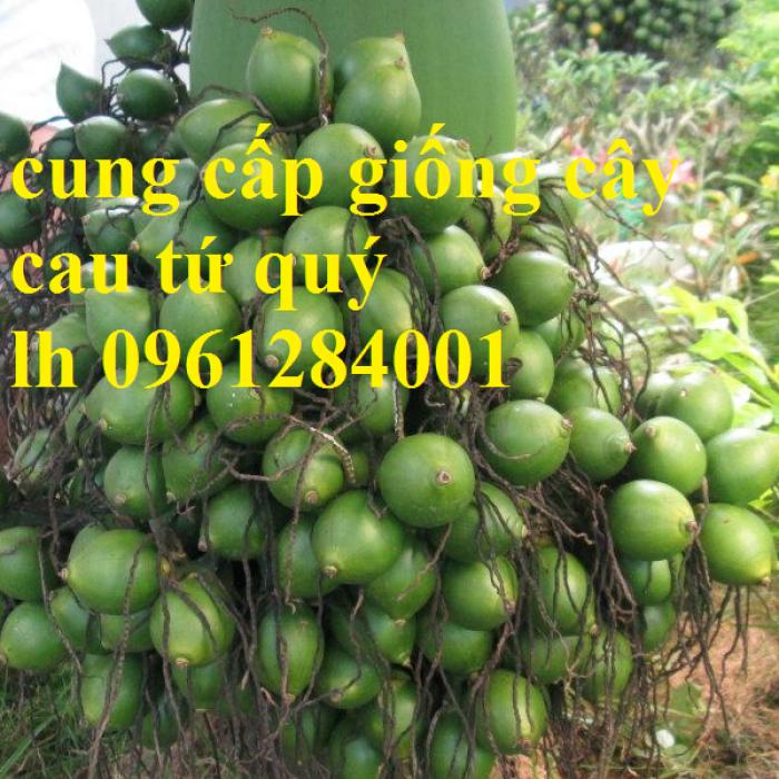 Chuyên cung cấp giống cây cau tứ quý, cau tứ thời, số lượng lớn, giao hàng toàn quốc8