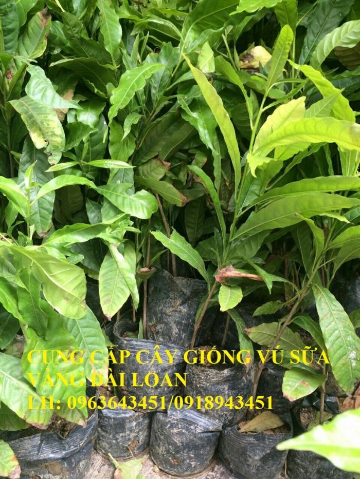 Cung cấp cây giống vú sữa vàng Đài Loan, vú sữa abiu, vú sữa hoàng kim cây ghép, cây hạt F1, giá tốt6